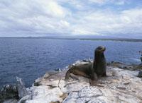 ガラパゴスアシカの雄サウス・プラザ島