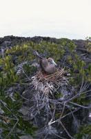 アカアシカツオドリの巣