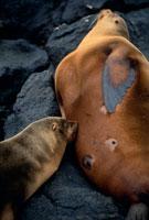 授乳中のガラパゴスアシカ