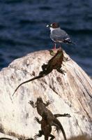 アカメカモメとウミイグアナ