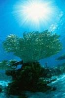 太陽光とサンゴ