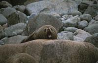 ニュージーランドアザラシ