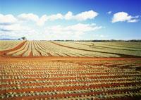 オアフのパイナップル畑