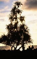 パンダナスの木 25356001138| 写真素材・ストックフォト・画像・イラスト素材|アマナイメージズ