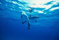 水面下でクロスするイルカ 25356001179| 写真素材・ストックフォト・画像・イラスト素材|アマナイメージズ
