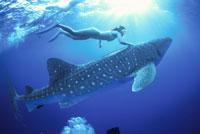 ジンベイザメと泳ぐダイバー