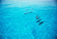 ナギの海を泳ぐマダライルカ 25356001202| 写真素材・ストックフォト・画像・イラスト素材|アマナイメージズ