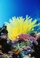 黄色いウミシダ 25356001255| 写真素材・ストックフォト・画像・イラスト素材|アマナイメージズ