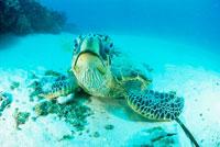カメラを見るウミガメ 25356001348| 写真素材・ストックフォト・画像・イラスト素材|アマナイメージズ