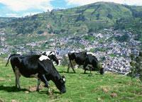 牛とキト市街 25356001717| 写真素材・ストックフォト・画像・イラスト素材|アマナイメージズ
