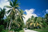 マジュロ環礁 ヤシの林 8月 マーシャル諸島共和国