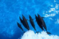 水面下を泳ぐタイセイヨウマダライルカの群れ