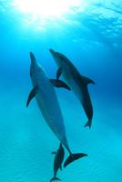 太陽光に向かって泳ぐタイセイヨウマダライルカたち
