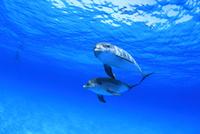 青い海で泳ぐイルカたち