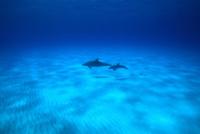 砂地の海底を泳ぐタイセイヨウマダライルカの親子