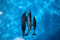船の船首で泳ぐイルカ