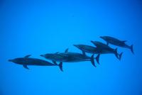 バハマの青い海を列になって泳ぐイルカ