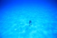 白砂の海底を泳ぐするタイセイヨウマダライルカたち