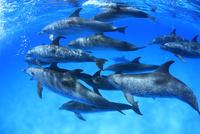 群れで泳ぐタイセイヨウマダライルカたち