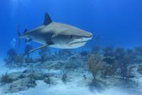 タイガーシャークと美しい海 25356001847| 写真素材・ストックフォト・画像・イラスト素材|アマナイメージズ