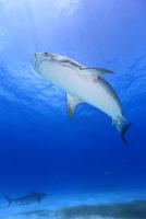 タイガーシャークと光差し込む美しい海 25356001849| 写真素材・ストックフォト・画像・イラスト素材|アマナイメージズ