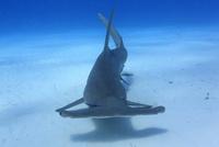 美しい海を泳ぐグレートハンマーヘッドシャークを正面から