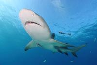 タイガーシャークと光差し込む美しい海 25356001855| 写真素材・ストックフォト・画像・イラスト素材|アマナイメージズ