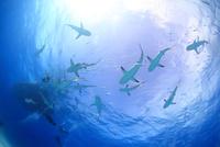 サメの群れとダイバー 25356001861| 写真素材・ストックフォト・画像・イラスト素材|アマナイメージズ