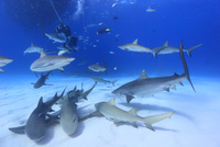 サメの群れとダイバー