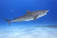 タイガーシャークと美しい海 25356001869| 写真素材・ストックフォト・画像・イラスト素材|アマナイメージズ