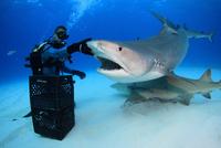 タイガーシャークに餌付けするダイバー 25356001894| 写真素材・ストックフォト・画像・イラスト素材|アマナイメージズ