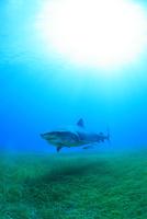 タイガーシャークと光差し込む美しい海 25356001910| 写真素材・ストックフォト・画像・イラスト素材|アマナイメージズ