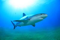 タイガーシャークと光差し込む美しい海 25356001914| 写真素材・ストックフォト・画像・イラスト素材|アマナイメージズ