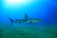 タイガーシャークと光差し込む美しい海 25356001915| 写真素材・ストックフォト・画像・イラスト素材|アマナイメージズ