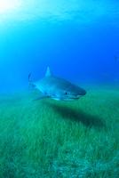 タイガーシャークと光差し込む美しい海 25356001916| 写真素材・ストックフォト・画像・イラスト素材|アマナイメージズ