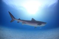 タイガーシャークと光差し込む美しい海 25356001929| 写真素材・ストックフォト・画像・イラスト素材|アマナイメージズ