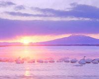 朝の濤沸湖の白鳥