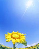 ヒマワリと太陽