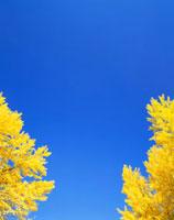 イチョウ 上田城公園 25372020020| 写真素材・ストックフォト・画像・イラスト素材|アマナイメージズ