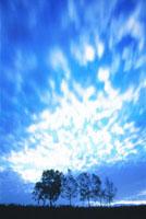 朝の木立と流雲  9月  美瑛町 北海道