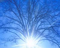 朝の太陽とハルニレの木  北海道