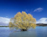 テカポ湖と黄葉の木
