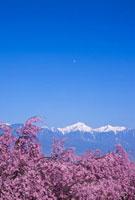 桜と常念岳とパラグライダー