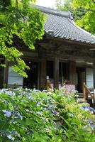 三光寺とアジサイ