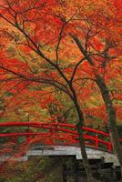 紅葉の河鹿橋 25388014496  写真素材・ストックフォト・画像・イラスト素材 アマナイメージズ