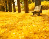 黄葉のイチョウとベンチ