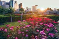 バラの咲く中之島公園