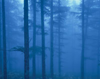 霧のカラ松林6月  長野県
