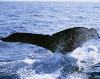 ザトウ鯨フルークアップ