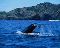 ザトウ鯨テールスラップ
